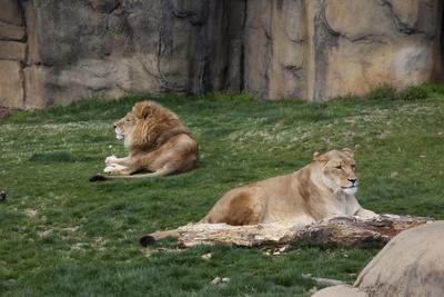 https://imgc.artprintimages.com/img/print/male-female-lion-at-rest_u-l-q19q9ke0.jpg?p=0