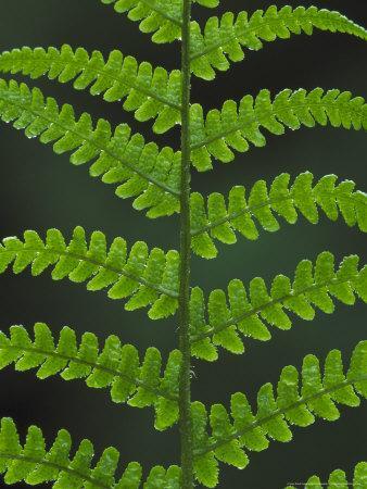 https://imgc.artprintimages.com/img/print/male-fern-close-up-of-underside-of-pinnate-uk_u-l-q10r6qr0.jpg?p=0