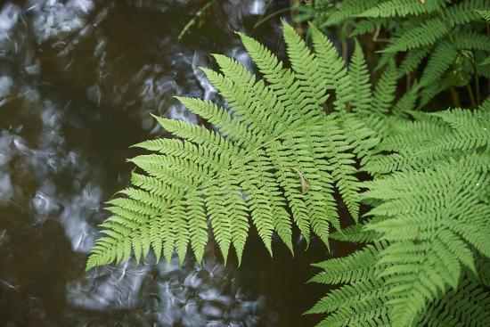 male fern, Dryopteris filix-mas, brookside, spring-David & Micha Sheldon-Photographic Print
