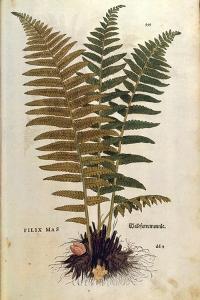 Male Fern (Dryopteris Filix-Mas) by Leonhart Fuchs from De Historia Stirpium Commentarii Insignes (