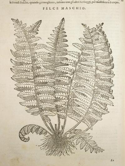 Male Fern Dryopteris Filix-Mas by Pietro Andrea Mattioli I Discorsi, Felice Valgriffo, Venice, 1585--Giclee Print