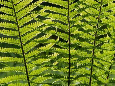 Male Fern, Inverness-Shire-Iain Sarjeant-Photographic Print