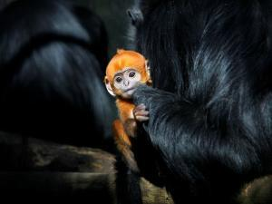 Male Francois' Leaf Monkey Relaxes with His Parents at the Zoological Gardens Zoorasia in Yokohama