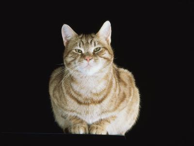 Male Ginger Domestic Cat Looking Smug, UK-Jane Burton-Photographic Print