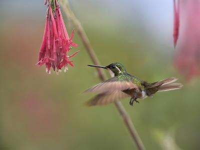 Male Gray-Tailed Mountain-Gem Hummingbird Hovering at a Flower-Tim Fitzharris-Photographic Print