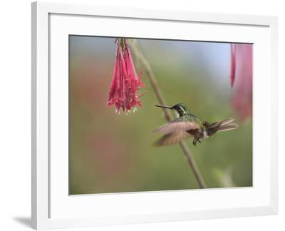 Male Gray-Tailed Mountain-Gem Hummingbird Hovering at a Flower-Tim Fitzharris-Framed Photographic Print
