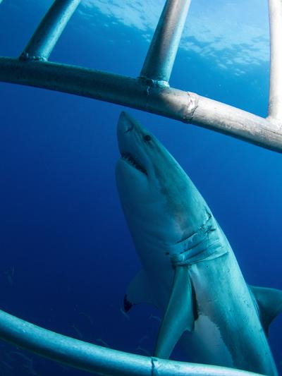 Male Great White Shark, Guadalupe Island, Mexico-Stocktrek Images-Photographic Print