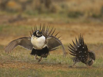Male Greater Sage-Grouse (Centrocercus Urophasianus) Displaying-Jack Milchanowski-Photographic Print