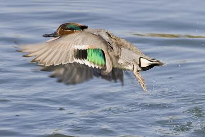 Male Green-Winged Teal Duck Takes Off-Hal Beral-Photographic Print