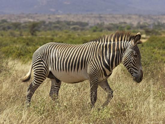 Male Grevy's Zebra (Equus Grevyi), Samburu Game Reserve, Kenya, East Africa, Africa-James Hager-Photographic Print