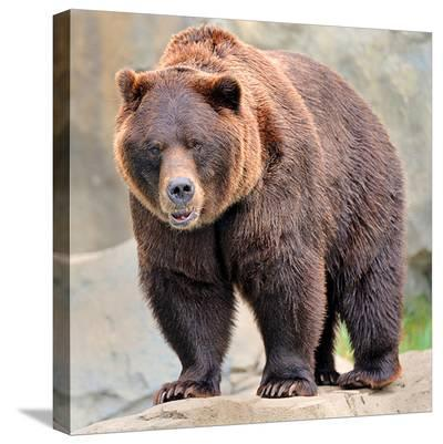 Male Grizzly Bear Ursos Arctos--Stretched Canvas Print