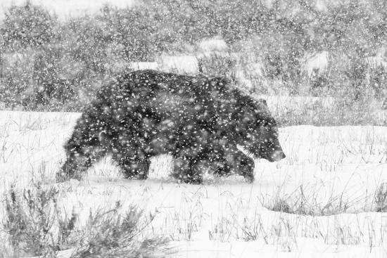 Male Grizzly Bear Walks Through Willow Flats During A Late Winter Storm In Grand Teton NP, Wyoming-Mike Cavaroc-Photographic Print