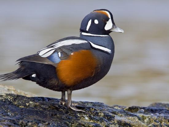 Male Harlequin Duck (Histrionicus Histrionicus) Perched on a Rock, Victoria, BC, Canada-Glenn Bartley-Photographic Print