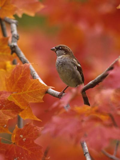 Male House Sparrow in Fall Maples (Passer Domesticus), North America-Steve Maslowski-Photographic Print