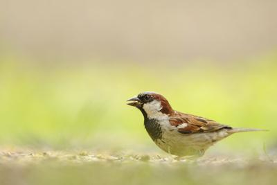 https://imgc.artprintimages.com/img/print/male-house-sparrow-passer-domesticus-feeding-on-the-ground-perthshire-scotland-uk-july_u-l-q10o5c60.jpg?p=0