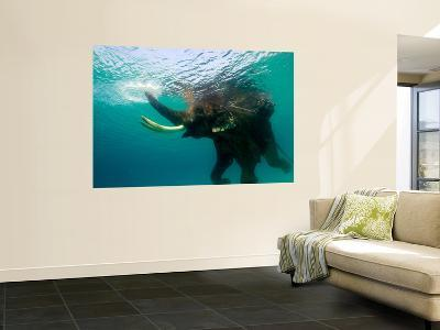 Male Indian Elephant (Elephas Maximus Indicus) Swimming Underwater-Astrid Schweigert-Giant Art Print