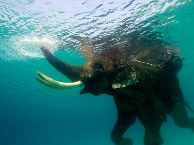 Male Indian Elephant (Elephas Maximus Indicus) Swimming Underwater-Astrid Schweigert-Photographic Print