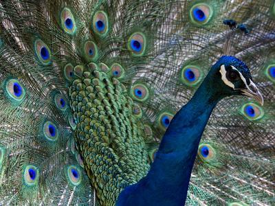 Male Indian Pea Fowl, Peacock, Pavo Cristatus, Displaying for Females.-Paul Sutherland-Photographic Print