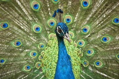 Male Indian Peacock in Costa Rica-Paul Souders-Photographic Print
