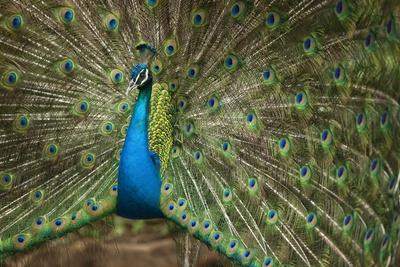 Male Indian Peacock in Costa Rica--Photographic Print