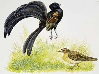 Male Jackson's Widowbird During Courtship Display in Front of Female--Giclee Print