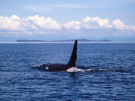 Male Killer Whale Coming Out of the Water with Kelp Hanging from its Dorsal Fin-Jeff Foott-Photographic Print