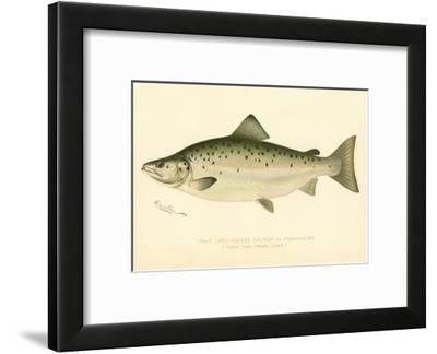 Male Land Locked Salmon--Framed Giclee Print