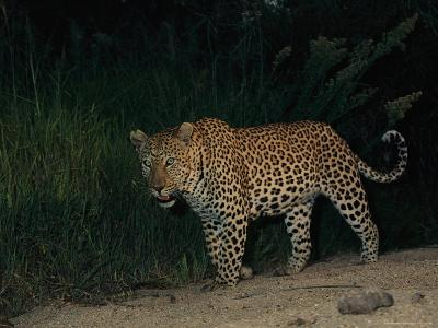 Male Leopard on Patrol at Night-Kim Wolhuter-Photographic Print