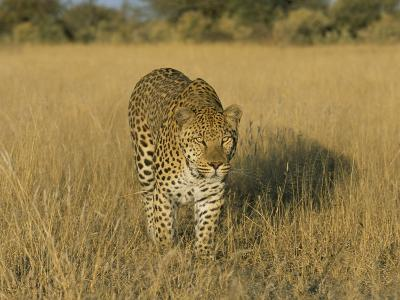 Male Leopard (Panthera Pardus) in Captivity, Namibia, Africa-Steve & Ann Toon-Photographic Print