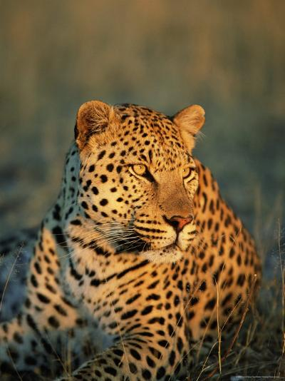Male Leopard, Panthera Pardus, in Captivity, Namibia, Africa-Ann & Steve Toon-Photographic Print