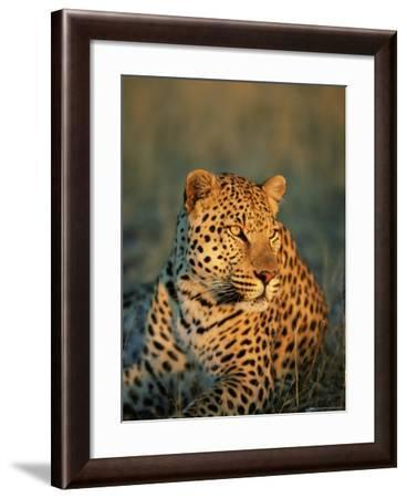 Male Leopard, Panthera Pardus, in Captivity, Namibia, Africa-Ann & Steve Toon-Framed Photographic Print