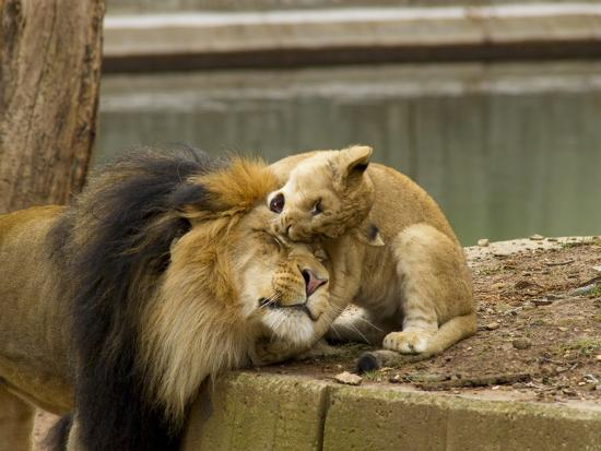 Male Lion and Lion Cub, Panthera Leo, Socializing in their Enclosure-Paul Sutherland-Photographic Print