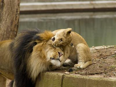 https://imgc.artprintimages.com/img/print/male-lion-and-lion-cub-panthera-leo-socializing-in-their-enclosure_u-l-phtzix0.jpg?p=0