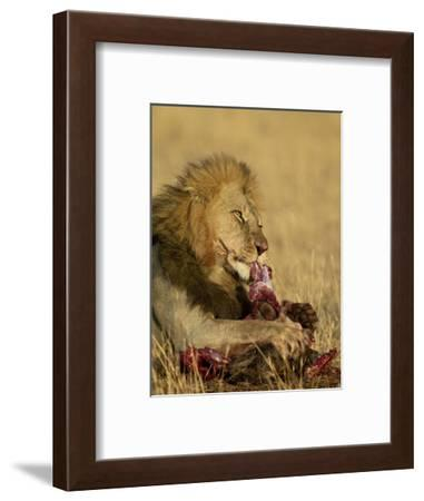 Male Lion Eating a Blue Wildebeest, Masai Mara National Reserve, Kenya, East Africa-James Hager-Framed Photographic Print