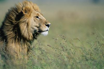 Male Lion in Tall Grass--Photographic Print