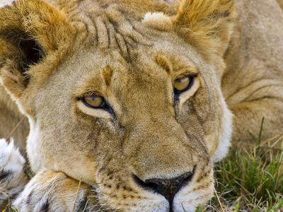 Male Lion in the Late Afternoon, Maasai Mara, Kenya-Joe Restuccia III-Photographic Print