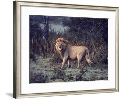 Male Lion in the Wild-John Dominis-Framed Photographic Print