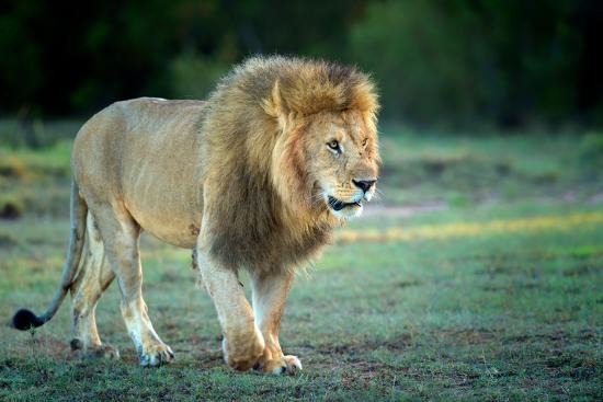 Male lion, Masai Mara, Kenya, East Africa, Africa-Karen Deakin-Photographic Print
