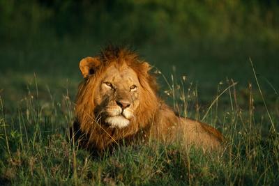 Male Lion Masai Mara National Park Kenya-Mike Hill-Photographic Print