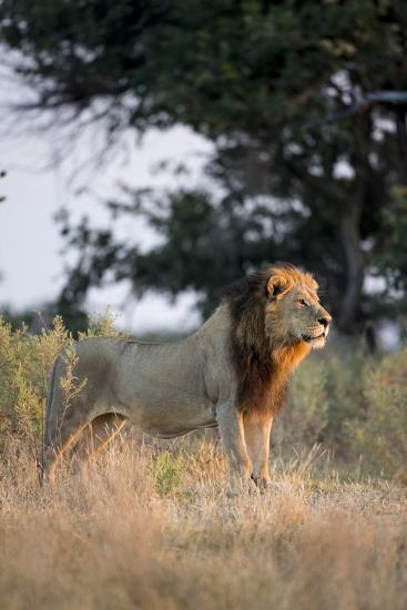 Male Lion, Moremi Game Reserve, Botswana-Paul Souders-Photographic Print