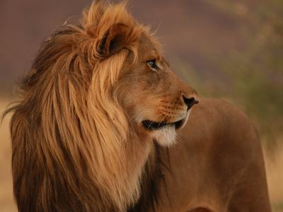Male Lion, Namibia, South Africa-Keith Levit-Photographic Print