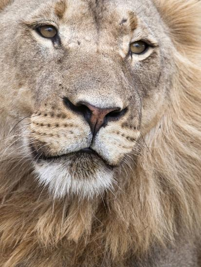 Male Lion (Panthera Leo), Addo National Park, Eastern Cape, South Africa, Africa-Ann & Steve Toon-Photographic Print