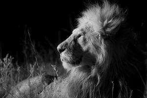 Male Lion (Panthera Leo) , in Infra Red, Masai Mara, Kenya