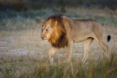 Male Lion (Panthera Leo), Moremi, Okavango Delta, Botswana, Africa-Andrew Sproule-Photographic Print
