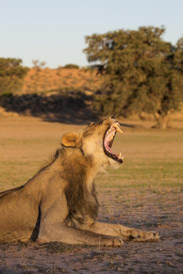 Male Lion (Panthera Leo) Yawning, Kgalagadi Transfrontier Park, Northern Cape, South Africa, Africa-Ann & Steve Toon-Photographic Print