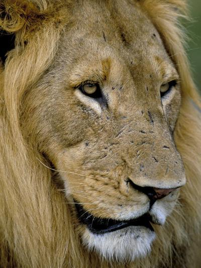 Male Lion (Panthero Leo), Kruger National Park, South Africa, Africa-Steve & Ann Toon-Photographic Print