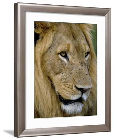 Male Lion (Panthero Leo), Kruger National Park, South Africa, Africa-Steve & Ann Toon-Framed Photographic Print