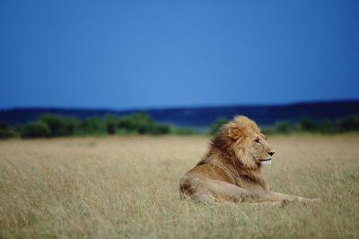 Male Lion Resting on Savanna--Photographic Print