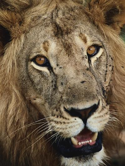 Male Lion's Face-Staffan Widstrand-Photographic Print