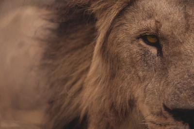 https://imgc.artprintimages.com/img/print/male-lion-staring-straight-ahead_u-l-pzryjo0.jpg?p=0